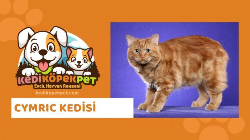 Cymric Kedisi , Cymric Cinsi Kedi Özellikleri , Bakımı , Güncel Detaylı , Cymric Cinsi Kedi Yavruları , Beslenmesi , Kedikopekpet