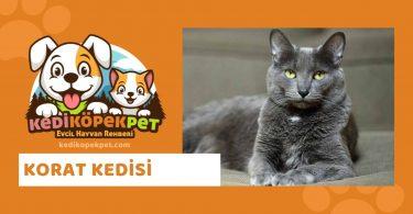 Korat Kedisi , Korat Cinsi Kedi Özellikleri , Bakımı , Güncel Detaylı , Korat Cinsi Kedi Yavruları , Beslenmesi