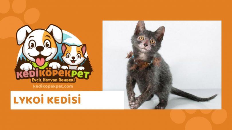Lykoi Kedisi , Lykoi Cinsi Kedi Özellikleri , Bakımı , Güncel Detaylı , Lykoi Cinsi Kedi Yavruları , Beslenmesi , Kedikopekpet
