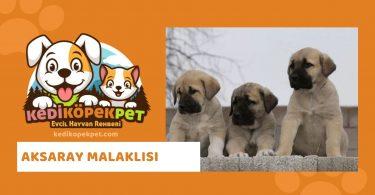 Aksaray Malaklısı , Aksaray Malaklısı Köpek Özellikleri , Aksaray Malaklısı Bakımı - Aksaray Malaklısı Eğitimi