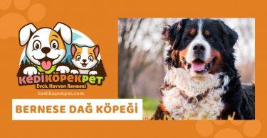 Bernese Dağ Köpeği , Bernese DağKöpeği Özellikleri , Bernese DağKöpeği Bakımı , Bernese DağKöpeği Yavrusu