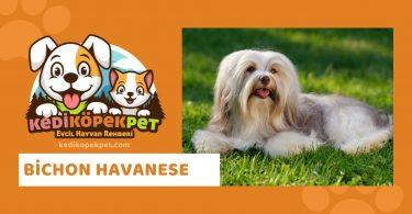 Bichon Havanese , Bichon Havanese Köpek Cinsi Özellikleri , Bichon Havanese Bakımı , Bichon Havanese Yavrusu