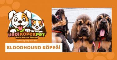 Bloodhound Köpeği , Bloodhound Köpeği Özellikleri , Bloodhound Köpeği Bakımı , Bloodhound Köpeği Yavrusu