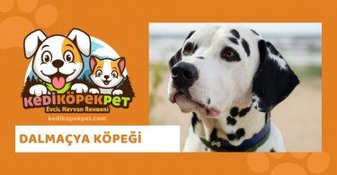 Dalmaçya , Dalmaçya Köpek Özellikleri , Dalmaçya Bakımı , DalmaçyaKöpek Eğitimi
