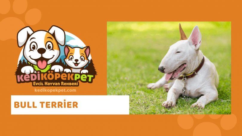 Bull Terrier , Bull Terrier Köpek Özellikleri , Bull Terrier Bakımı - Bull Terrier Eğitimi