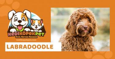 Labradoodle , Labradoodle Köpek Özellikleri , Labradoodle Bakımı
