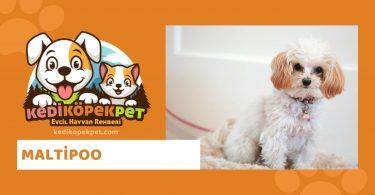 Maltipoo , Maltipoo Köpek Özellikleri , Maltipoo Bakımı