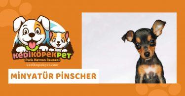 Minyatür Pinscher , Minyatür Pinscher Köpek Özellikleri , Minyatür Pinscher Bakımı - Minyatür Pinscher Eğitimi