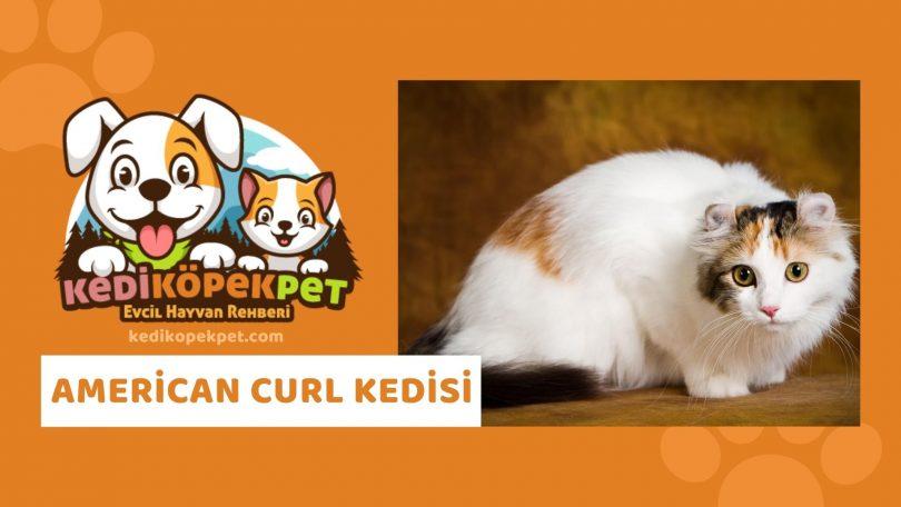American Curl Kedisi , American Curl Cinsi Kedi Özellikleri , Bakımı