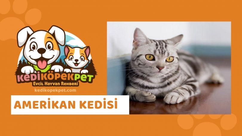 Amerikan Kedisi , Amerikan Cinsi Kedi Özellikleri , Bakımı