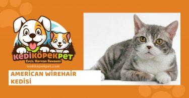 American Wirehair Kedisi , American Wirehair Cinsi Kedi Özellikleri , Bakımı