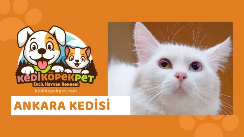 Ankara Kedisi , Ankara Cinsi Kedi Özellikleri , Bakımı
