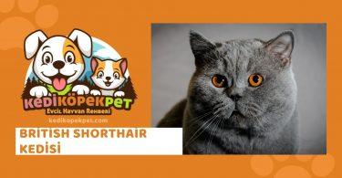 British Shorthair Kedisi , British Shorthair Cinsi Kedi Özellikleri , Bakımı