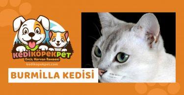 Burmilla Kedisi , Burmilla Cinsi Kedi Özellikleri , Bakımı