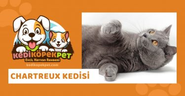 Chartreux Kedisi , Chartreux Cinsi Kedi Özellikleri , Bakımı