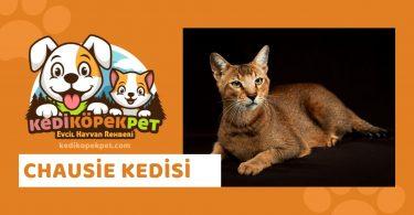 Chausie Kedisi , Chausie Cinsi Kedi Özellikleri , Bakımı