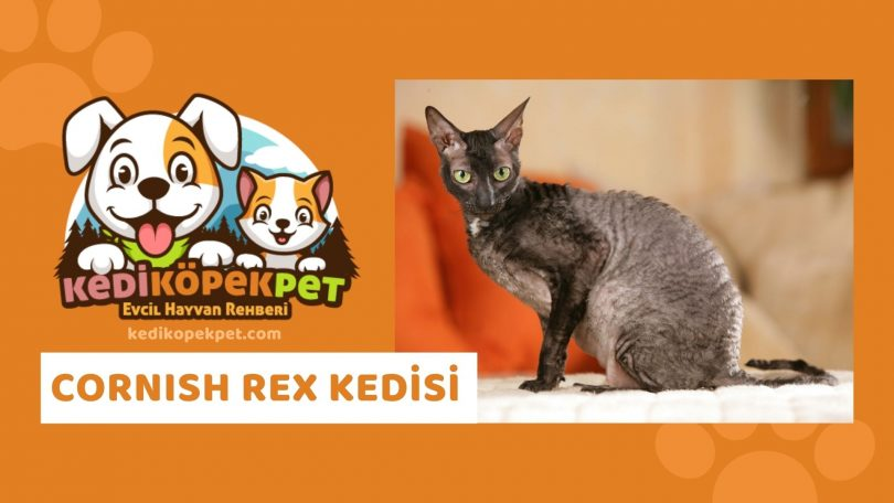 Cornish Rex Kedisi , Cornish Rex Cinsi Kedi Özellikleri , Bakımı Güncel Detaylı Beslenmesi Maması Yavruları