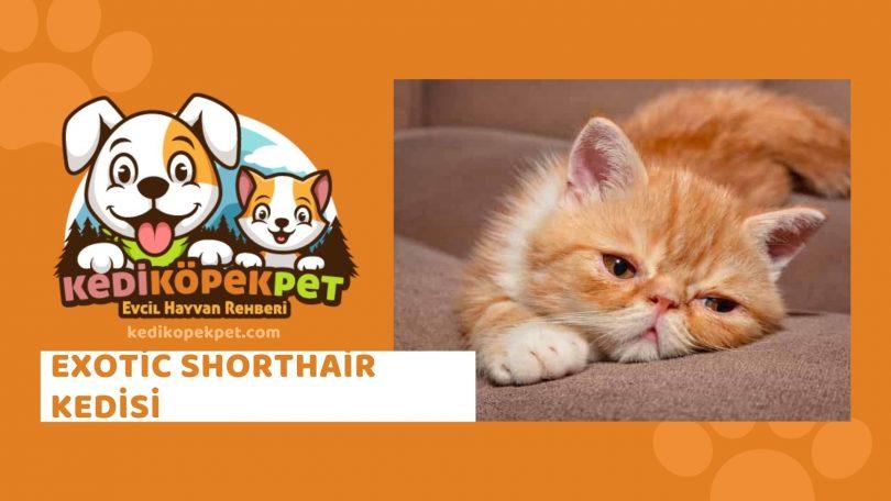 Exotic Shorthair Kedisi , Exotic Shorthair Cinsi Kedi Özellikleri , Bakımı