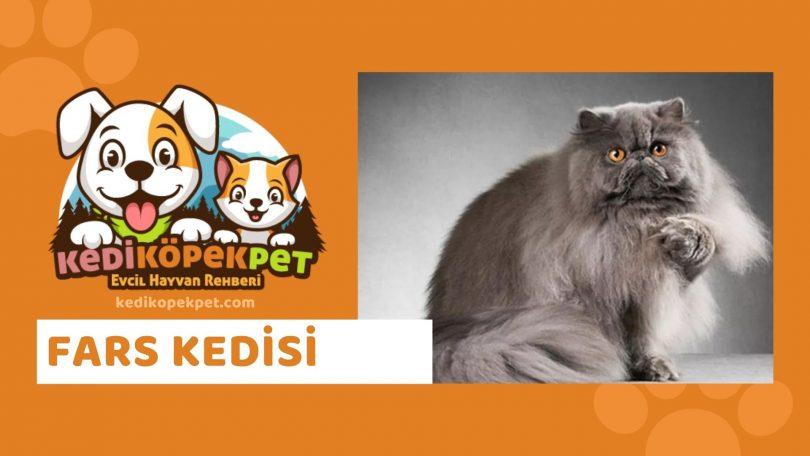 Fars Kedisi , Fars Cinsi Kedi Özellikleri , Bakımı