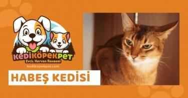 Habeş Kedisi , Habeş Cinsi Kedi Özellikleri , Bakımı