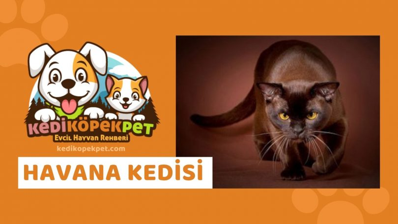 Havana Kedisi , Havana Cinsi Kedi Özellikleri , Bakımı