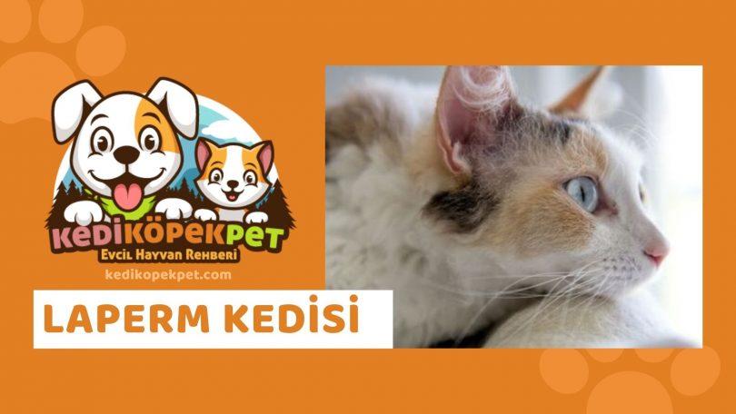 Laperm Kedisi , Laperm Cinsi Kedi Özellikleri , Bakımı