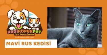 Mavi Rus Kedisi , Mavi Rus Cinsi Kedi Özellikleri , Bakımı