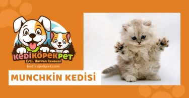 Munchkin Kedisi , Munchkin Cinsi Kedi Özellikleri , Bakımı