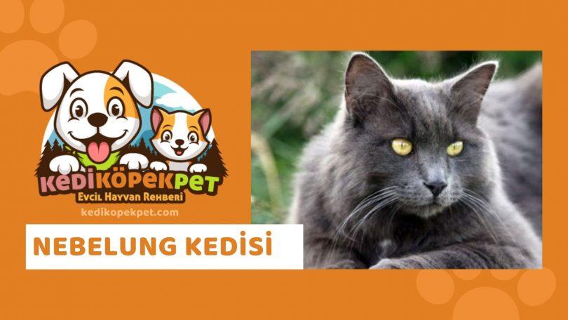Nebelung Kedisi , Nebelung Cinsi Kedi Özellikleri , Bakımı