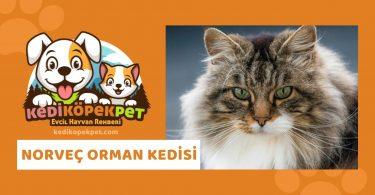 Norveç Orman Kedisi , Norveç Orman Cinsi Kedi Özellikleri , Bakımı