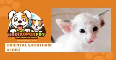 Oriental Shorthair Kedisi , Oriental Shorthair Cinsi Kedi Özellikleri , Bakımı