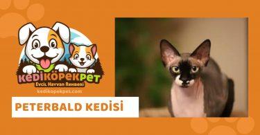 Peterbald Kedisi , Peterbald Cinsi Kedi Özellikleri , Bakımı , Maması, Karakteristik Özellikleri ve Fiziksel Özellikleri