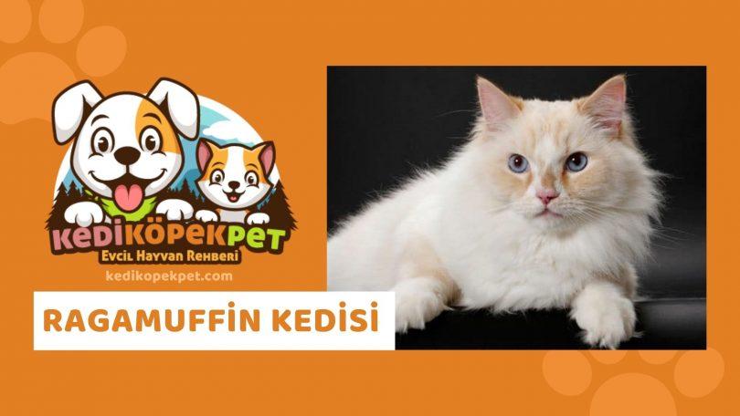 Ragamuffin Kedisi , Ragamuffin Cinsi Kedi Özellikleri , Bakımı