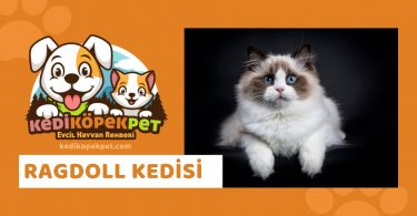 Ragdoll Kedisi , Ragdoll Cinsi Kedi Özellikleri , Bakımı