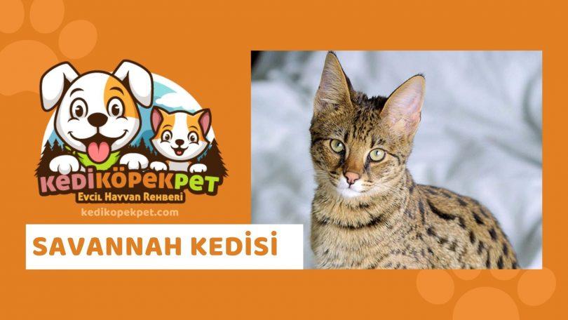 Savannah Kedisi , Savannah Cinsi Kedi Özellikleri , Bakımı