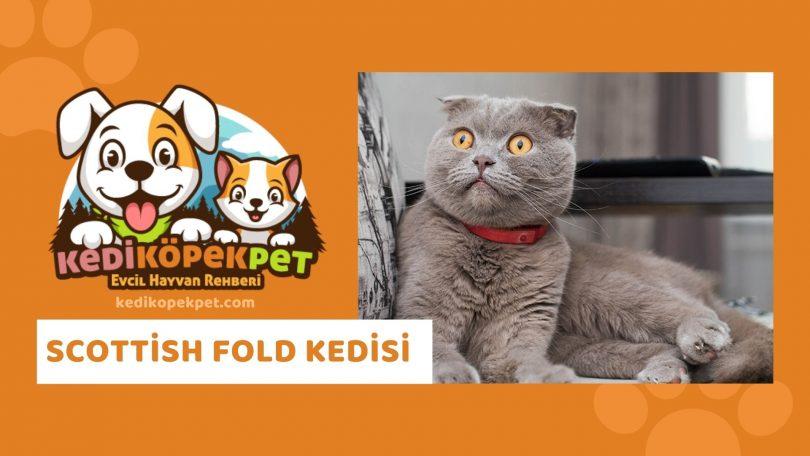 Scottish Fold Kedisi , Scottish Fold Cinsi Kedi Özellikleri , Bakımı