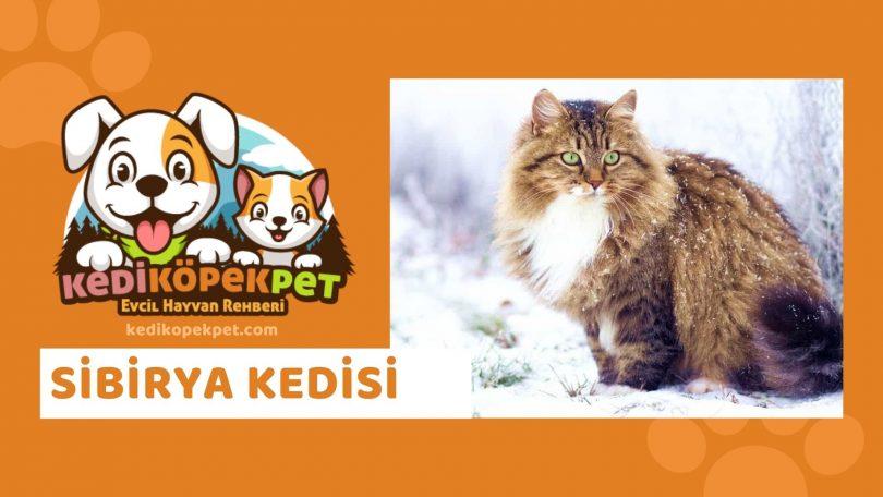 Sibirya Kedisi , Sibirya Cinsi Kedi Özellikleri , Bakımı