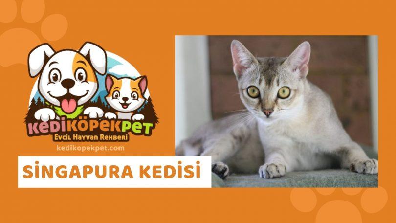Singapura Kedisi , Singapura Cinsi Kedi Özellikleri , Bakımı