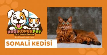 Somali Kedisi , Somali Cinsi Kedi Özellikleri , Bakımı