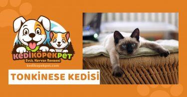 Tonkinese Kedisi , Tonkinese Cinsi Kedi Özellikleri , Bakımı