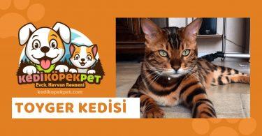 Toyger Kedisi , Toyger Cinsi Kedi Özellikleri , Bakımı